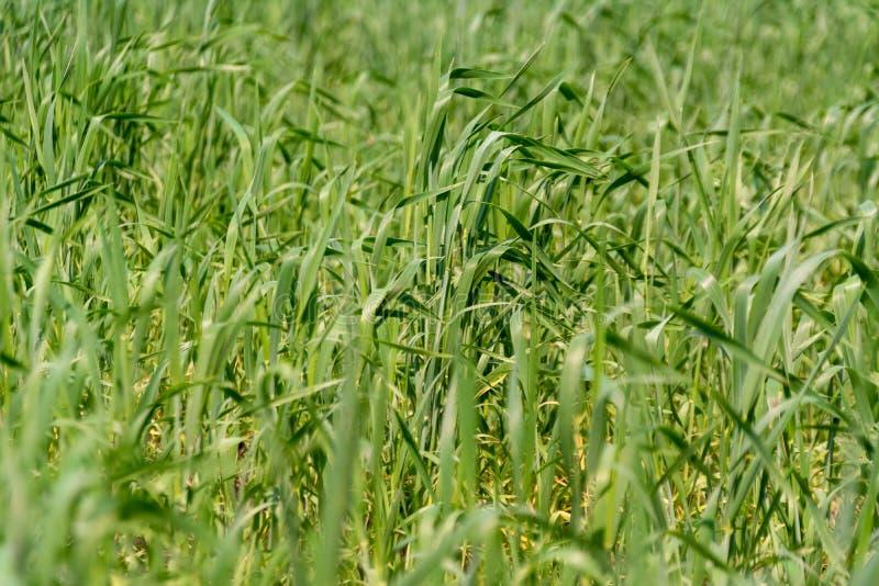 Espiguillas verdes jovenes del trigo en el campo en una granja fotos de archivo libres de regalías