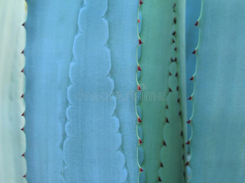 Espina de la textura de la hoja del cactus fotos de archivo libres de regalías