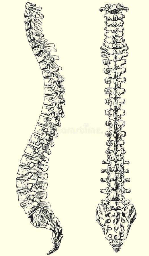 Espina dorsal humana ilustración del vector. Ilustración de ...