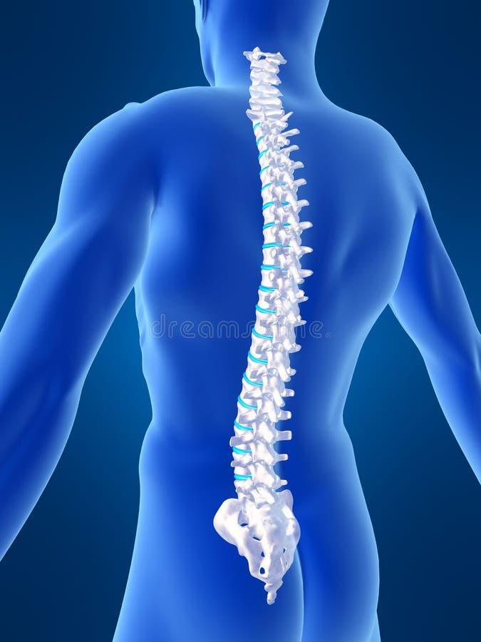 Espina dorsal humana stock de ilustración. Ilustración de espinal ...