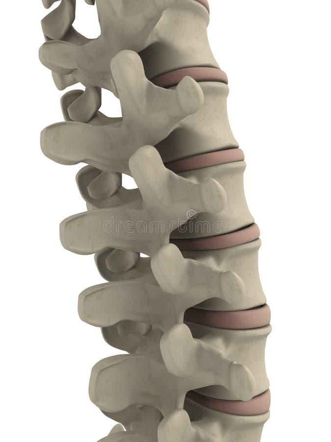 Espina dorsal humana stock de ilustración
