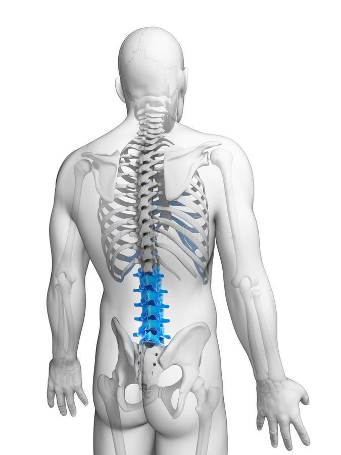 Espina dorsal lumbar stock de ilustración