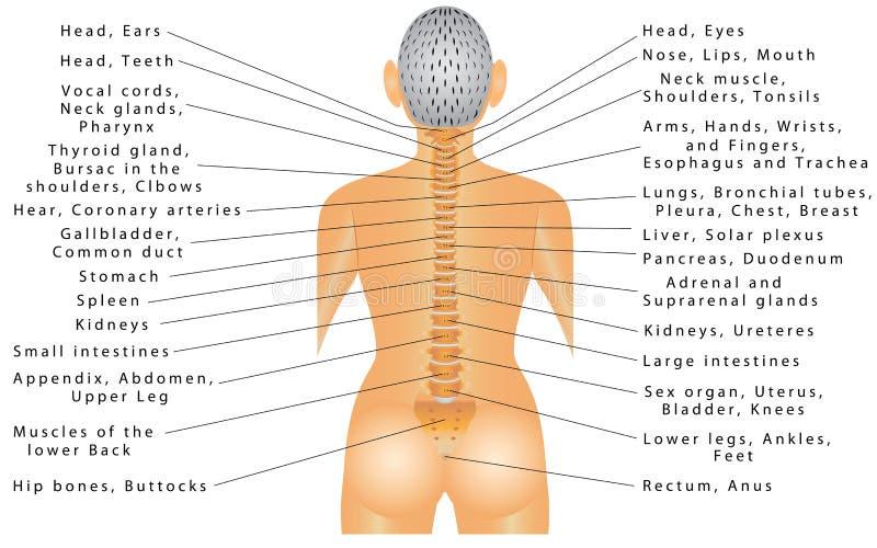 Espina dorsal y todos los órganos libre illustration