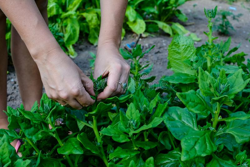 Espinafres da colheita no campo local fotos de stock royalty free