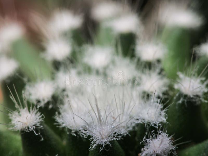 Espinas blancas de poco cactus imagenes de archivo