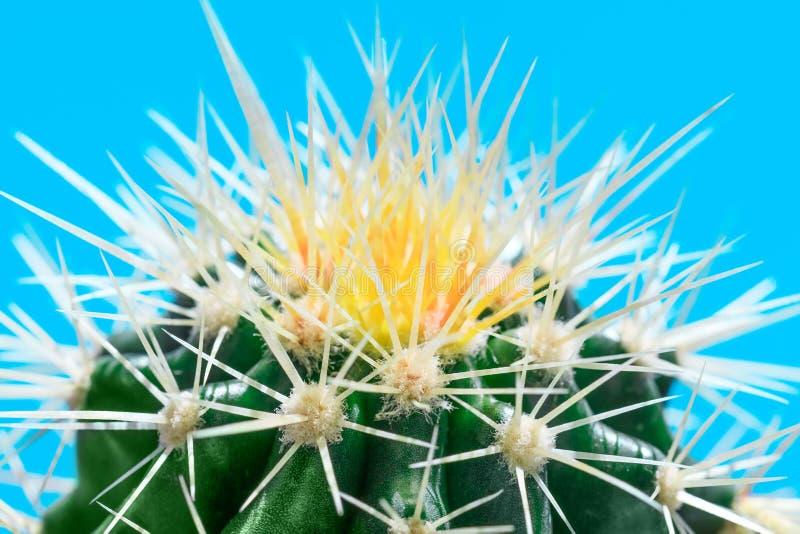 Espinas blancas y amarillas de la planta del cactus en imagen dominante macra, encendido imagen de archivo