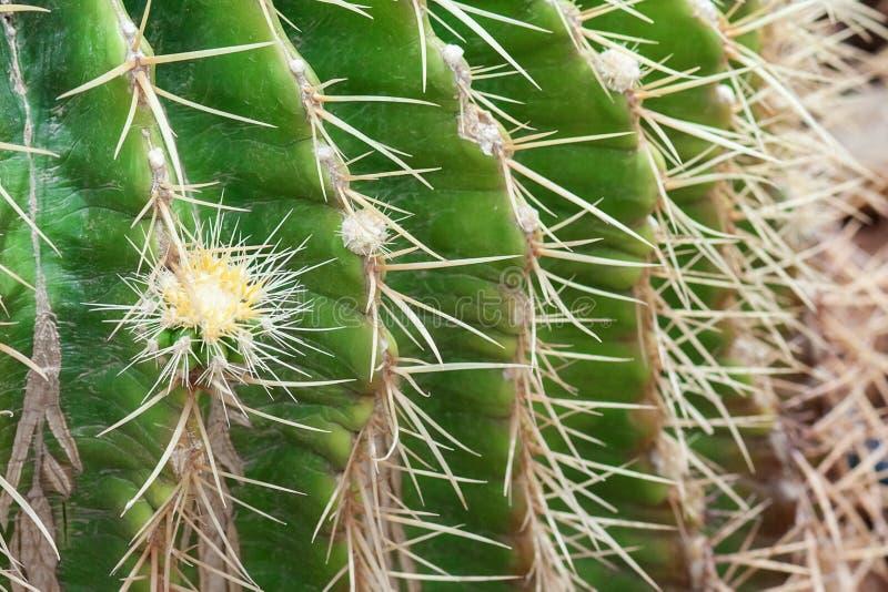 Espinas dorsales del cierre del cactus para arriba fotografía de archivo