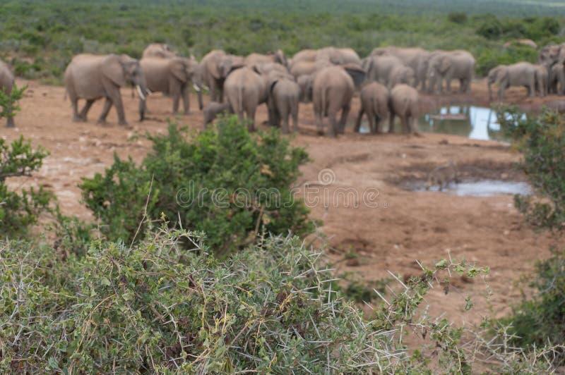 Espinas y hojas del árbol del acacia con la manada de elefantes salvajes en el fondo imagen de archivo libre de regalías