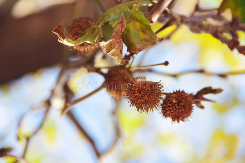 Espinhas secadas espinhosas alaranjadas amarelas das flores do outono na natureza foto de stock royalty free