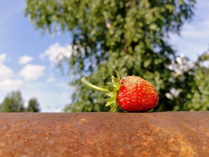 Espinhas vermelhas suculentas com uma morango rústica em um objeto oxidado na perspectiva da natureza, das árvores e do céu Front imagem de stock royalty free