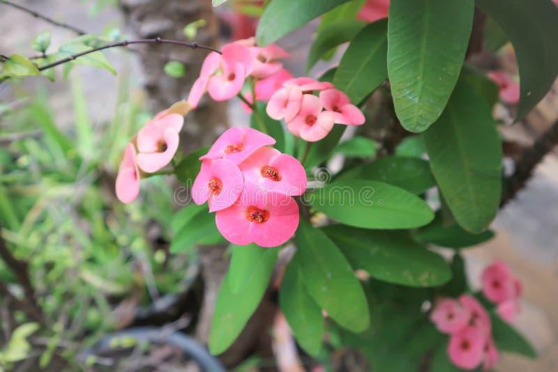 Espinho de Christs ou coroa da flor dos espinhos foto de stock royalty free