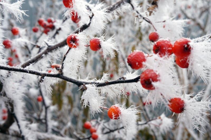Espinho gelado das bagas no ramo da neve com flocos de neve fotografia de stock royalty free