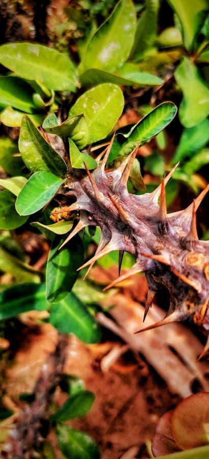 Espinhos em uma conversão O close up ou a imagem zumbida são tomados em um telefone Folhas verdes e fundo amarelo para dar-lhe um fotos de stock