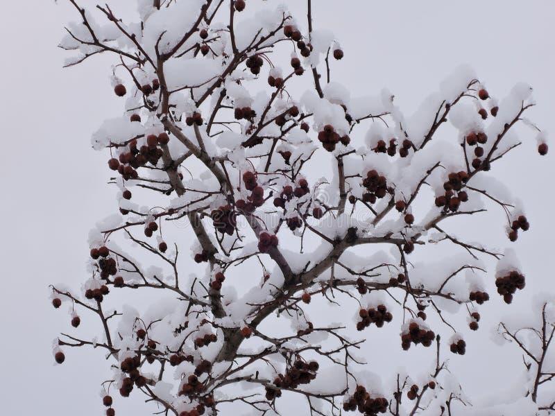 Espino en nieve fotos de archivo libres de regalías