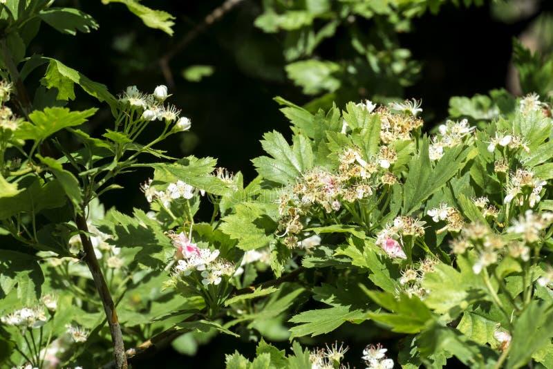 Espino floreciente Flores y hojas del whitethorn fotos de archivo