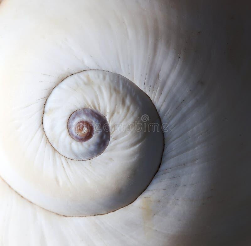 A espiral branca da concha do mar dentro foto de stock