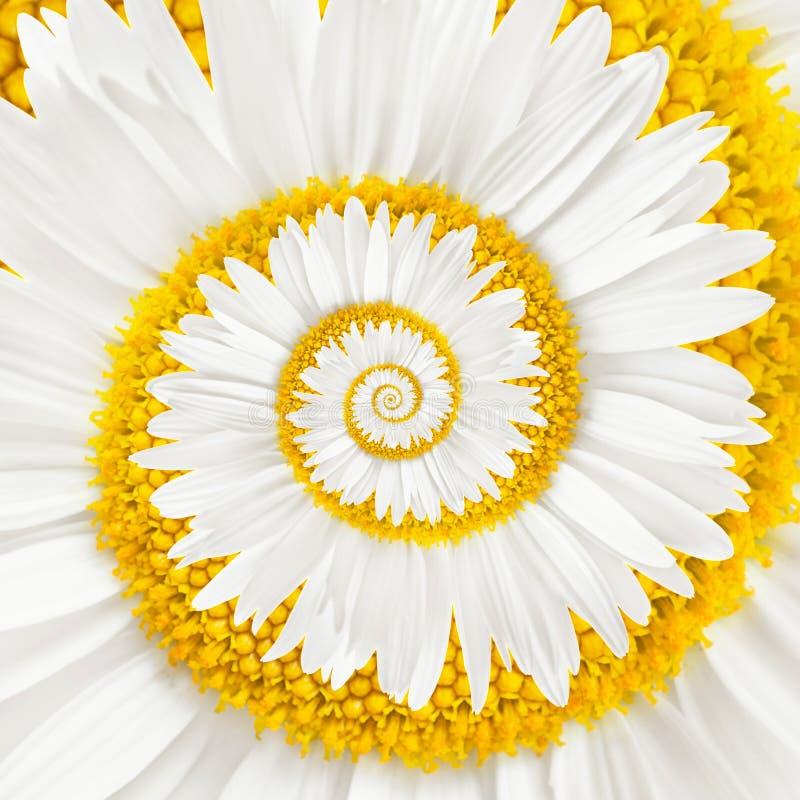 Espiral del infinito de la flor de la manzanilla fotografía de archivo