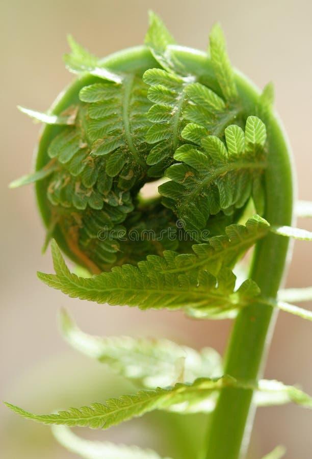 Espiral do Fern foto de stock royalty free