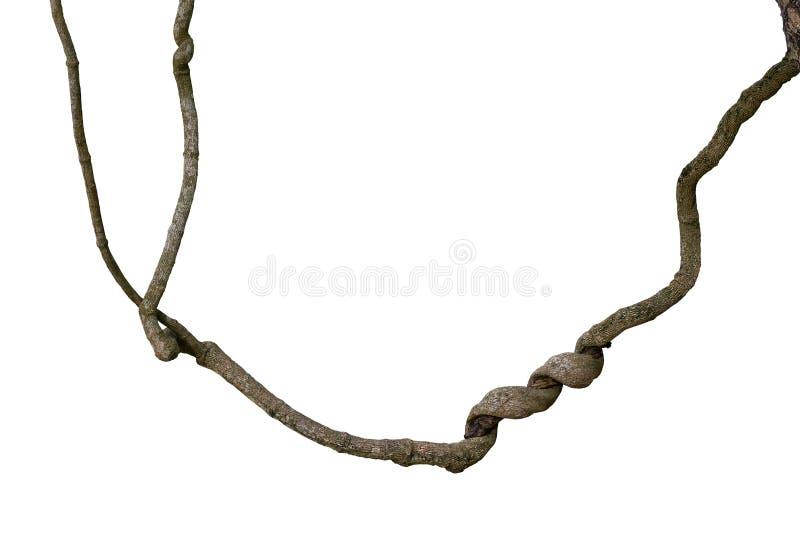 A espiral torceu o ramo de árvore da selva, planta da liana da videira isolada sobre foto de stock royalty free