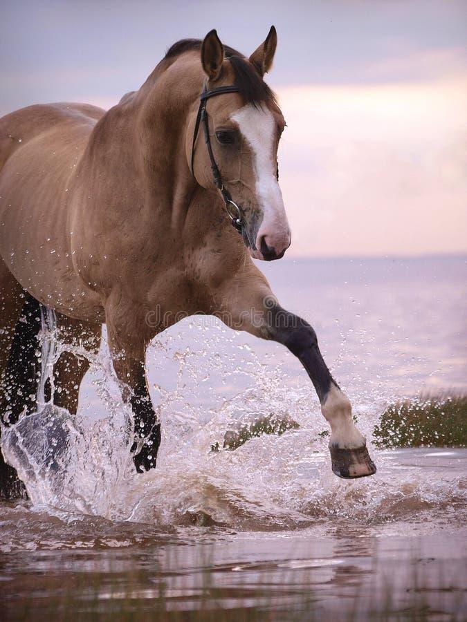 Espirrando o cavalo do palomino fotos de stock royalty free