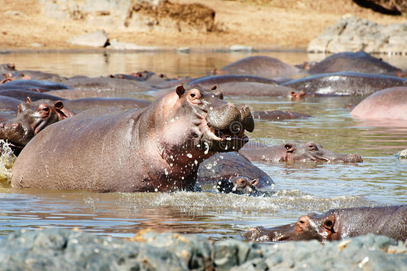 Espirrando o hipopótamo foto de stock royalty free