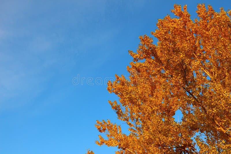 Espkroon in gouden de herfstgebladerte op achtergrond van blauwe hemel stock fotografie