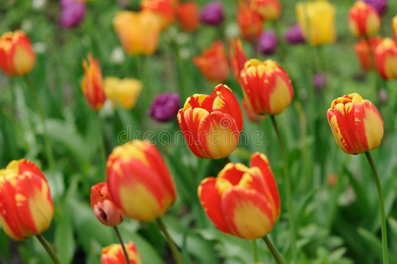 Esplendor oriental dos botões vermelho e amarelo com tulipas um gramado no parque da cidade foto de stock