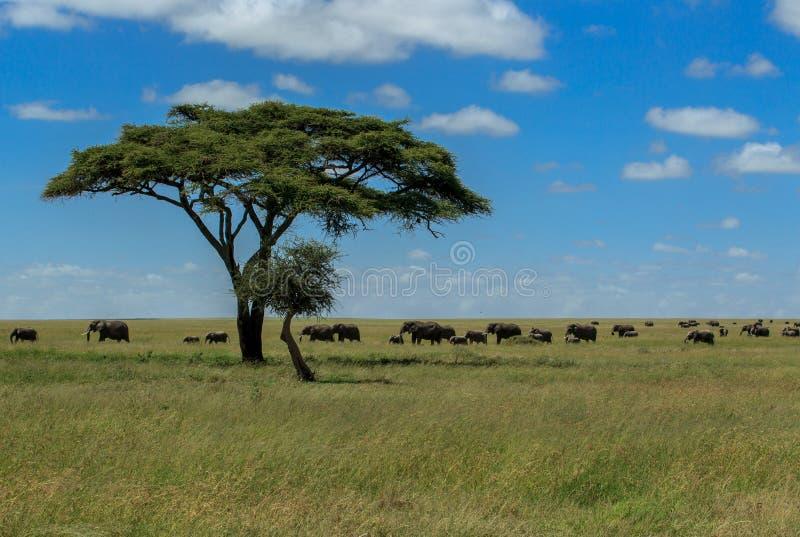 Espoir - troupeaux d'éléphants africains en parc national de Serengeti images libres de droits
