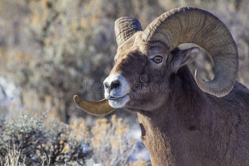 Espolón de las ovejas del Big Horn foto de archivo