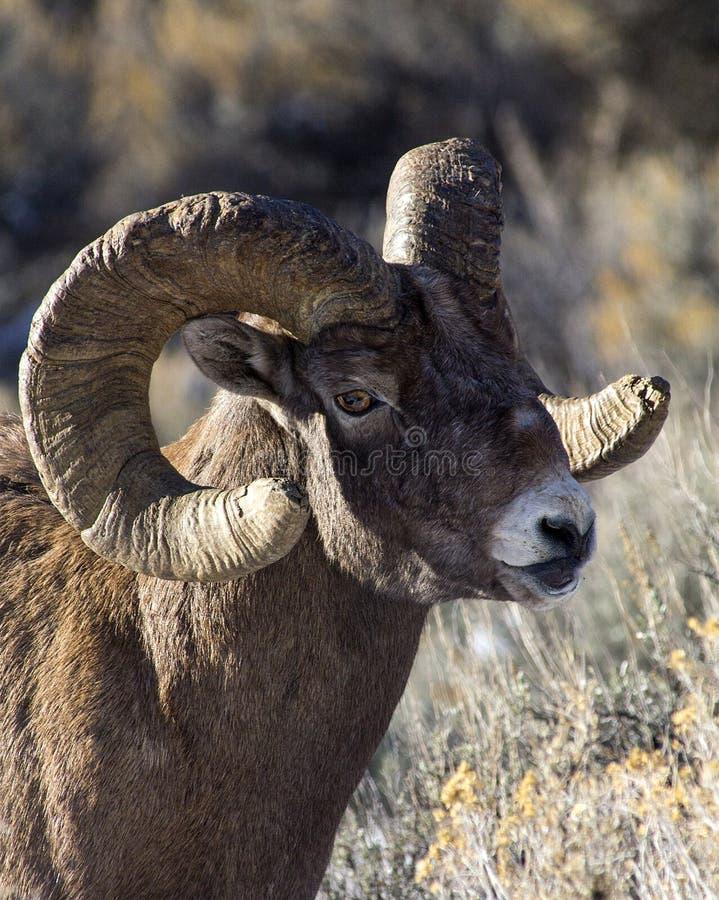 Espolón de las ovejas del Big Horn imagen de archivo