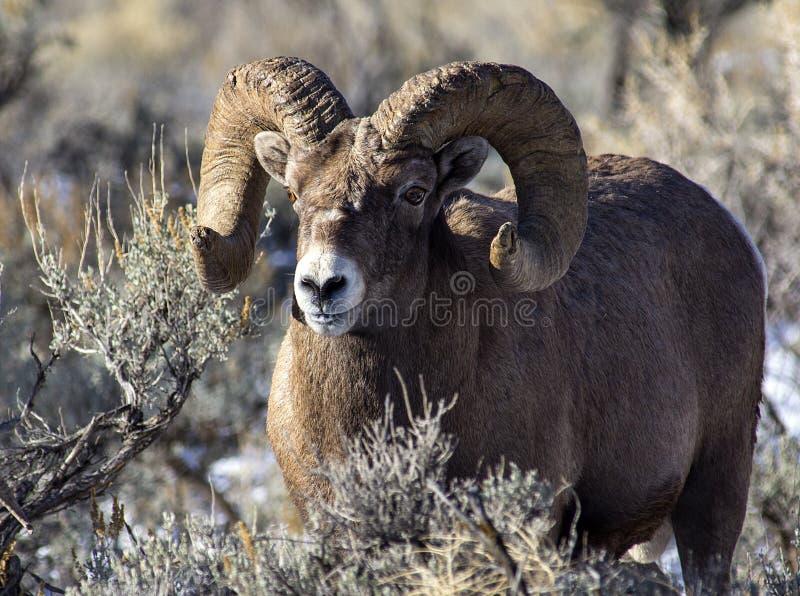 Espolón de las ovejas del Big Horn fotos de archivo libres de regalías