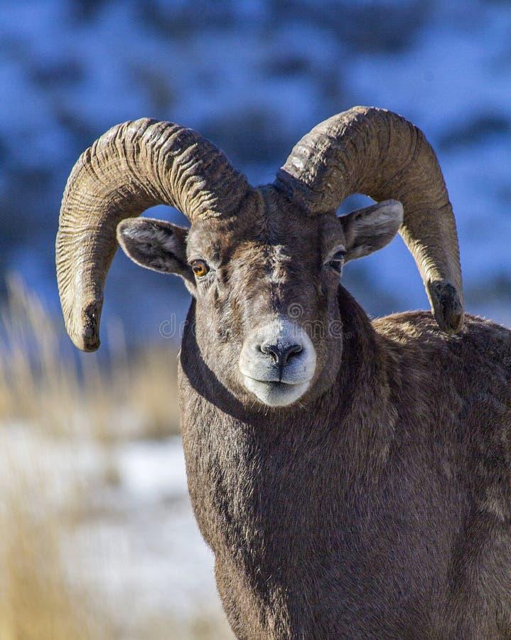 Espolón de las ovejas del Big Horn imágenes de archivo libres de regalías