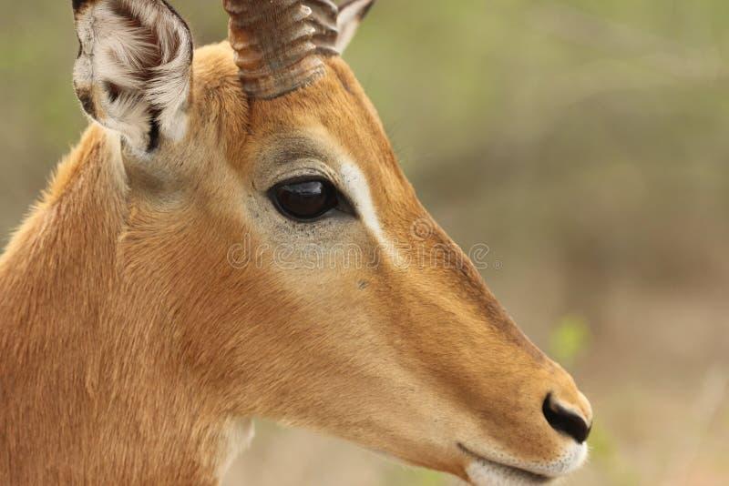Espolón del impala foto de archivo libre de regalías