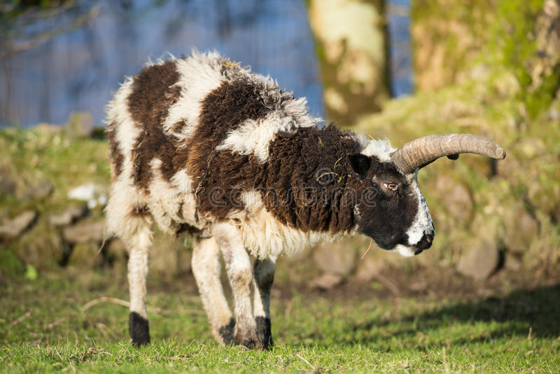 Espolón grande salvaje de las ovejas del cuerno foto de archivo