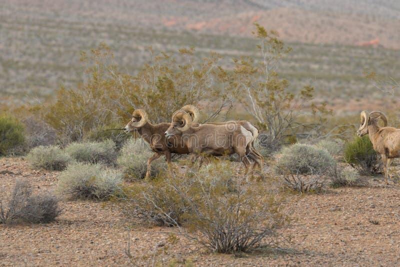 Espolones de las ovejas de Bighorn del desierto imagen de archivo