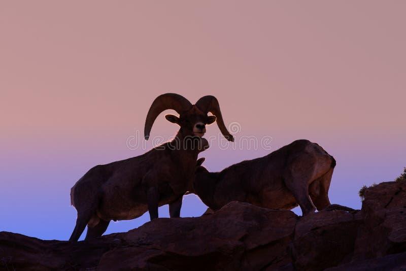 Espolones de las ovejas de Bighorn del desierto en la puesta del sol fotografía de archivo