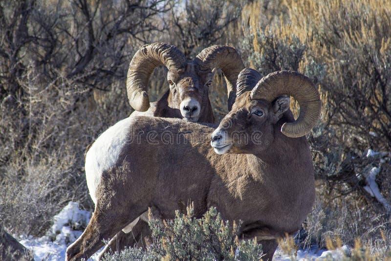 2 espolones de las ovejas del Big Horn foto de archivo