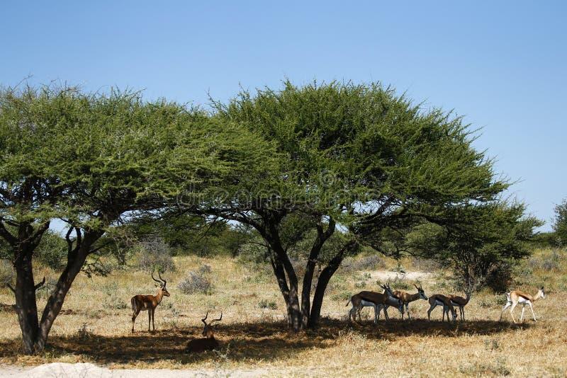 Espolones del impala imagen de archivo libre de regalías