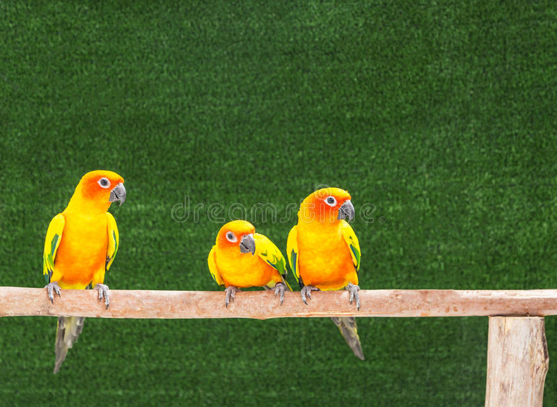 Esponga al sole gli uccelli del pappagallo di conuro che stanno la pertica sul ramo immagini stock libere da diritti
