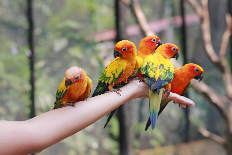 Esponga al sole i pappagalli di conuro che scalano sulla mano della gente immagine stock