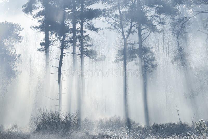 Esponga al sole i raggi che vengono attraverso la foresta con gli alberi profilati protetti fotografia stock