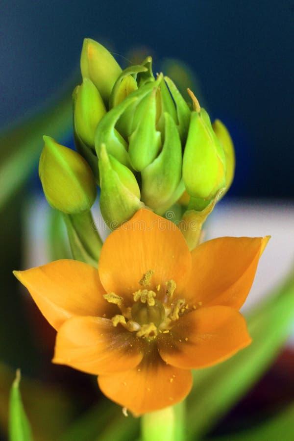 Esponga al sole il fiore ed i germogli della stella immagine stock libera da diritti