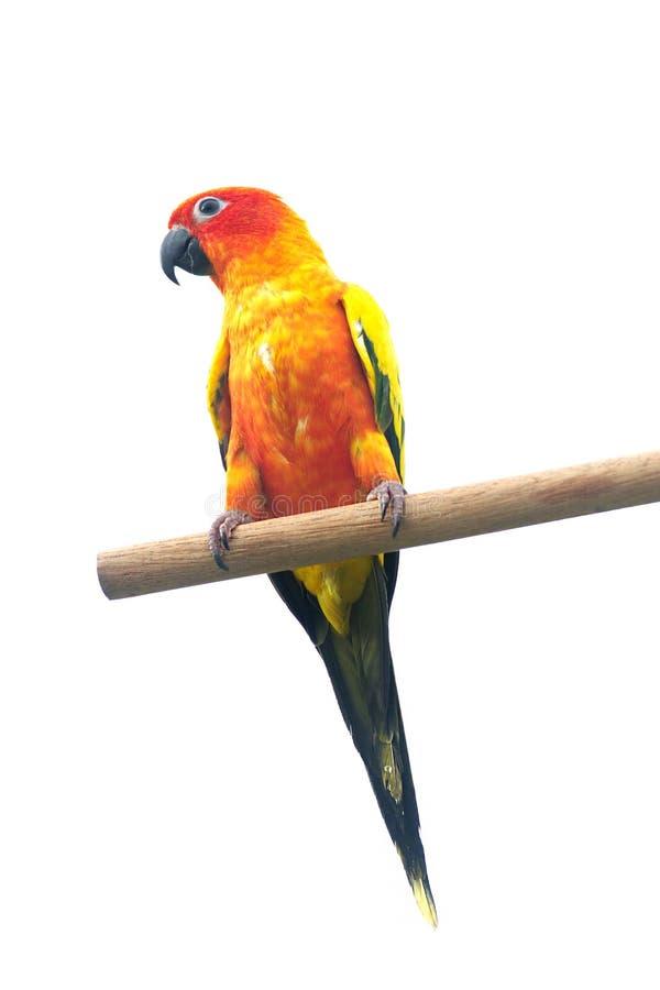 Esponga al sole il pappagallo di conuro che grida su un ramo isolato su fondo bianco fotografia stock libera da diritti