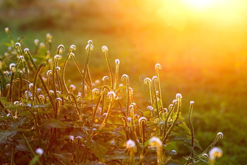 Esponga al sole le luci di indicum di heliotropium, della luce ed il fondo della carta da parati del sole alla luce del sole fotografie stock