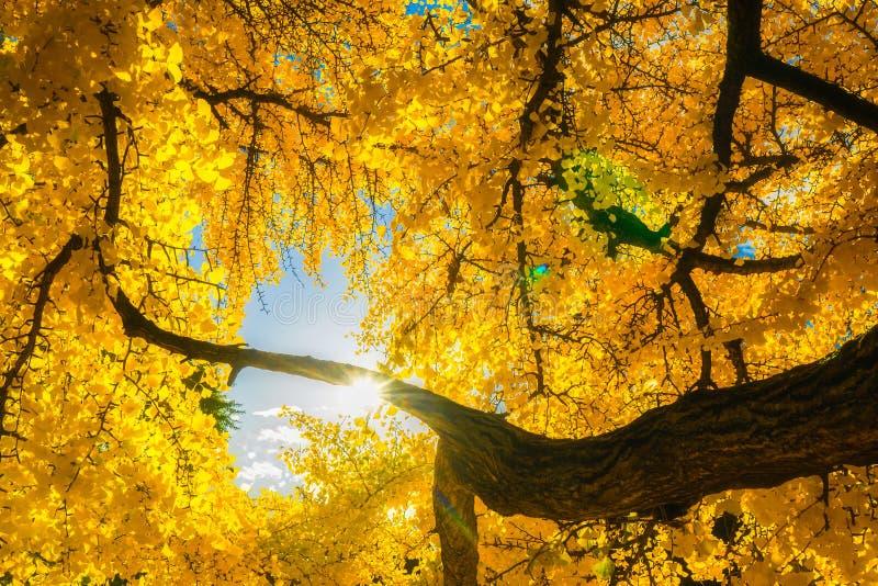 Esponga al sole splendere attraverso il fogliame giallo di un albero di biloba del gingko Bello paesaggio di autunno o di caduta immagine stock libera da diritti