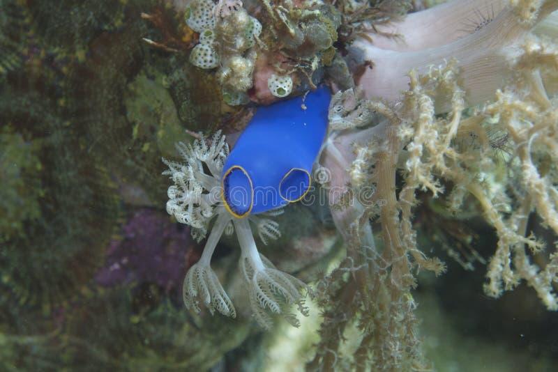 Esponja azul brilhante minúscula do mar fora do capelão Burgos, Leyte, Filipinas foto de stock