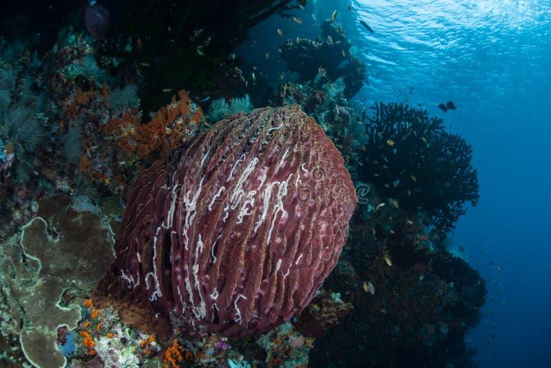 Esponja do tambor no recife saudável fotos de stock