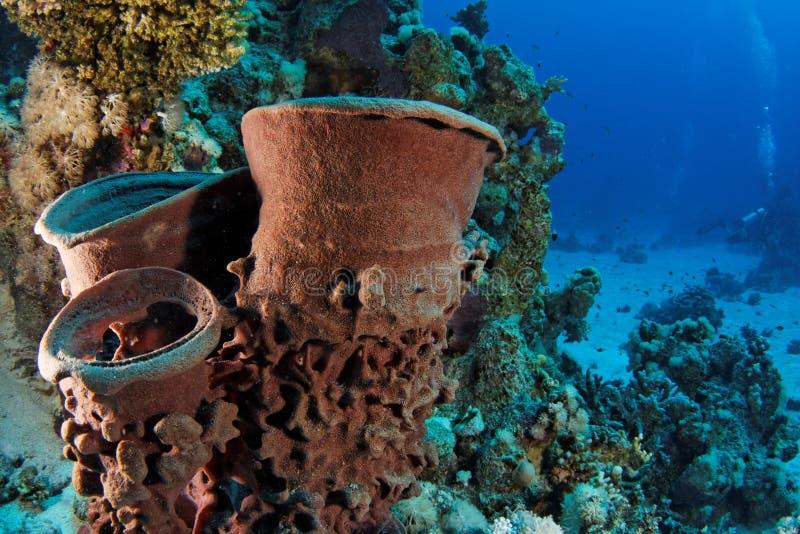 Esponja do tambor - recife Egipto do St John fotografia de stock