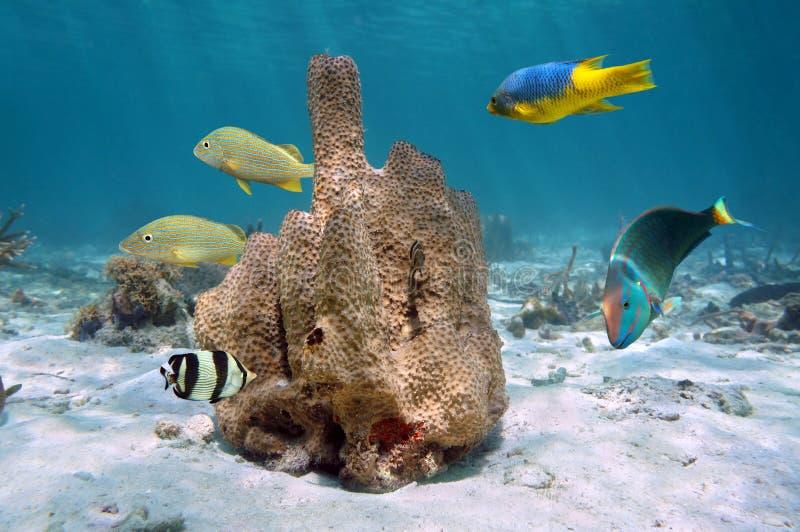 Esponja do tubo com os peixes tropicais coloridos fotografia de stock royalty free