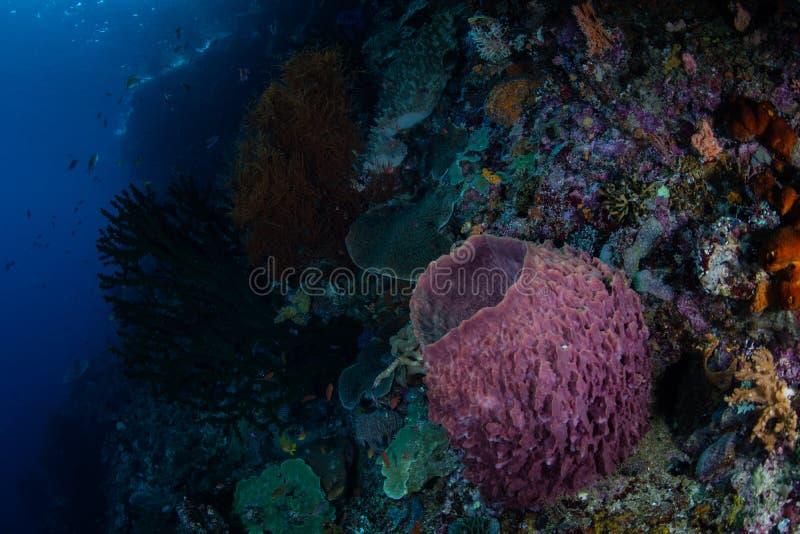 Esponja e recife do tambor em Raja Ampat fotos de stock royalty free